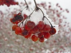 Gemeiner Schneeball - Früchte (Jörg Paul Kaspari) Tags: hosingen centre ösling winter gemeiner schneeball viburnumopulus fruits früchte fruchtschmuck schnee snow