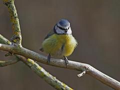 Blue Tit....Derbyshire (Scuba`Steve`) Tags: