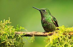 Buff-tailed Coronet (Boissonneaua flavescens) - Papallacta, EC (bcbirdergirl) Tags: guangolodge guango papallacta boissonneauaflavescens bufftailedcoronet hummingbird hummer ecuador southamerica trochilidae