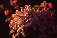 Blossom (cycle.nut66) Tags: blossom spring pink flowers close up ricoh mirai fuji fujifilm velvia 100 scan analogue epson 4490 bokeh