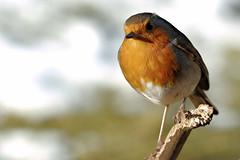 Robin - Sandy (Airwolfhound) Tags: sandy rspb wildlife robin