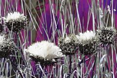 Thistles for tomorrow! (maginoz1) Tags: flowers foliage web abstract art contemporary manipulate summer february 2019 bulla melbourne victoria australia canon g3x scottishthistlesinaustralia