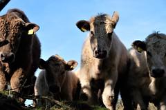 DSCF0360 (2) (TGJarrett) Tags: cows curious