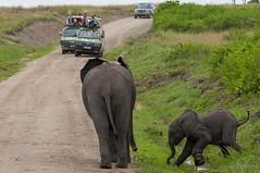 The snares of poachers (xhunter83) Tags: uganda queenelizabeth elephant calf poaching poacher wildlife