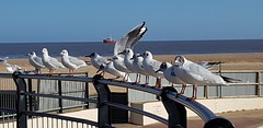 Gulls in gorleston great Yarmouth Norfolk uk (madmax557) Tags: birds wildlife gulls seabirds animals greatyarmouth gorleston norfolk uk eastanglia england greatbritain
