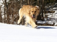 Snow Fun (Diane Marshman) Tags: thedude the dude golden retriever large dog breed action movement motion brown white fur snow winter season pa pennsylvania nature pet companion