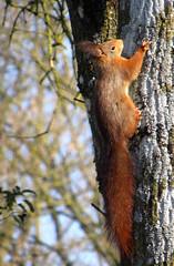 Encore ce beau rouquinou.....EXPLORE à la place 75 du 04 mars. Merci (Kermitfrog ;-)) Tags: écureuil squirrel canal canaldurhoneaurhin 39 jura dole
