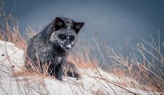 Silver Fox (Melissa M McCarthy) Tags: silverfox fox animal nature outdoor wildlife wild portrait black silver grey blue ocean signalhill stjohns newfoundland canada canon7dmarkii canon100400isii