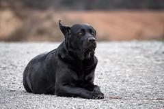 she like the wind (uwe.kast) Tags: labrador labradorretriever labradorredriver bichou hund haustier dog black wind ear ohren panasonic lumix 100300