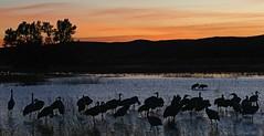 Sandhill Cranes (Antigone canadensis) (Ron Wolf) Tags: antigonecanadensis bosquedelapachenwr gruidae gruiformes gruscanadensis sandhillcrane bird landscape nature pond sky sunset trees wildlife newmexico