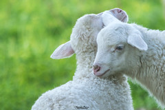 Dolcezza lanosa (Francesca Murroni ┃Wildlife Photographer) Tags: agnellini lambs lamb animals fauna wildlifephotography wildlife fotografianaturalistica animali natura dolcezza naturecaptures animalcaptures animalslovers sulcis sardegna italia
