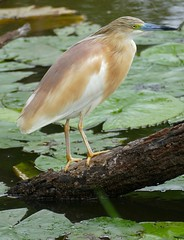 Squacco Heron (Ardeola ralloides) (berniedup) Tags: squaccoheron ardeolaralloides heron taxonomy:binomial=ardeolaralloides bird lakepanic kruger