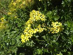 Senecio angulatus L. f. (Peter M Greenwood) Tags: senecioangulatus senecio angulatus