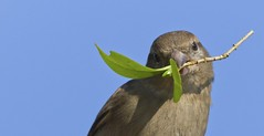 House Sparorw (Shannon Wilde 9322) Tags: nature naturephotography wild wildlife wildlifephotography birdlife birdwatch birdphotography sparrow housesparrow canon sigma leaves animalphotography animalportrait
