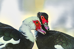 Amistad2 (frankalf37) Tags: cadiz ccloseup couple fowlduck spain nature portrait shooting shot telephoto telephotolens zoom zoomlensbirds