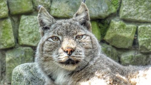 Eurasian Lynx, Zoo Amersfoort, Netherlands - 2409
