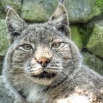 Eurasian Lynx, Zoo Amersfoort, Netherlands - 2409 thumbnail