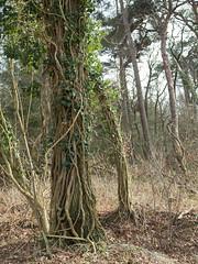 (Jeroen Hillenga) Tags: boom bos forest netherlands nederland natuur nature natuurgebied natur kniphostbosch strubben anloo drenthe mothernatureatherbest