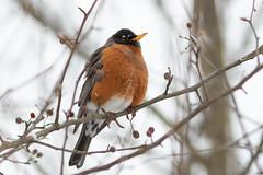 Orange in Winter (Ken Krach Photography) Tags: robin bird
