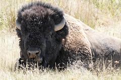 American Bison (stephaniepluscht) Tags: montana 2018 national bison range american buffalo