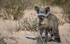 Bat-eared-Fox (petraherdlitschke) Tags: africa animals wildlife südafrika kgalagadi safari nature canon5dmark4 canonef70200 löffelhund fox