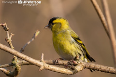 Siskin In Profile