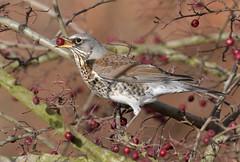 Fieldfare (KHR Images) Tags: fieldfare turduspilaris thrush wild bird feeding berry fendraytonlakes rspb cambridgeshire wildlife nature nikon d500 kevinrobson khrimages
