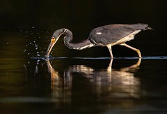 Tri-Colored Hunter... (DTT67) Tags: tricoloredheron heron 2xtciii 500mmii 5dmkiv canon florida wader bird nature wildlife
