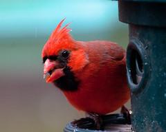 Male cardinal (leehobbi) Tags: birds nature backyard cardinal red bird birdsnaturebackyard