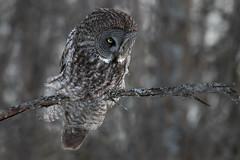 Great Grey Owl (dwb838) Tags: greatgrayowl tree branch