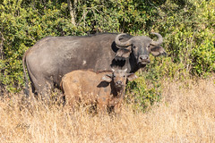 Are You My Mother? (Jill Clardy) Tags: africa kenya vantagetravel safari 201902139l8a5518 cape buffalo calf mother baby ol pejeta conservancy nanyuki game drive syncerus caffer bovine