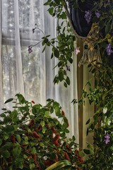 Houseplants IMG_9516 (ForestPath) Tags: flowers leaves window curtain daylight red fuzzy purple delicate blossoms
