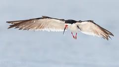 Black Skimmer (T L Sepkovic) Tags: blackskimmer skimmer shorebird birdsinflight bif canonusa teamcanon 5dmkiv wildlifephotography