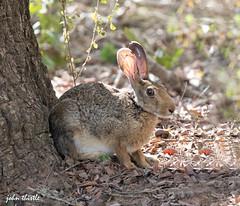 Black naped hare (johnthistle) Tags: hare wild srilanka canon handheld subindiancontinent 100400mm bush grass tree stones sand twigs outdoor yalanationalpark