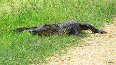Obstacle (Suzanham) Tags: alligator reptile wildlife nature mississippi animal americanalligator crocodilian alligatormississippiensis southeast