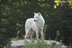 Loup arctique_SIUT (Passion Animaux & Photos) Tags: loup arctique arctic wolf parc animalier saintecroix
