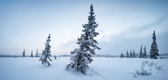 Winter panorama (czdistagon.com) Tags: winter snow landscape frozen fir beautiful frost new year dawn white season forest hoarfrost sun cold nature outdoor hoar spruce wood background snowy snowfall holiday vacation hill wonderland travel ice cloud panorama scene cover nobody panoramic view powder shadow scenic trip weather silence natural breathtaking tourism russia