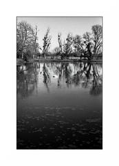 Le Morvan (Punkrocker*) Tags: nikon s2 rf rangefinder nikkor 50mm 5014 film kodak tmax 400 nb bwfp lake lac tree trees cygne campaign campagne morvan bourgogne france