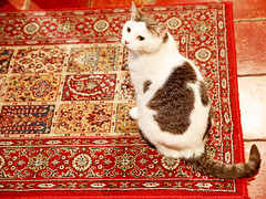 Montréal (kirstiecat) Tags: feline cat chat gato gata chatte kitty katze rug montreal canada catada caturday quebec