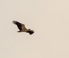 White Bellied Sea Eagle 2 (PDKImages) Tags: sri lanka wildlife nature outdoors animals srilanka eagle bird flight whitebelliedseaeagle raptor birdofprey