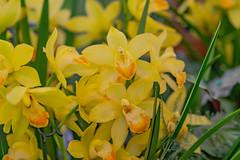 Orchideen yellow (a7m2) Tags: international orchid exhibition flowers flora austrai loweraustria klosterneuburg abbey natur blumen