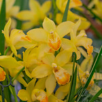 Orchideen yellow thumbnail