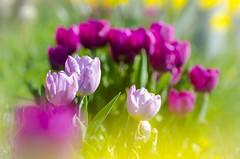 A colorful sea of tulips 💐 (Martin Bärtges) Tags: deutschland germany frühjahr frühling spring colors sonne sonnenschein sunshine sun nikonphotography nikonfotografie d7000 nikon outstanding outside outdoor drausen colorful farbenfroh blossoms blumen blüten flowers natur nature naturephotography naturfotografie