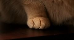 Kitten and Cat HANDBOOK (Kerri Lee Smith) Tags: jimmy paw lowlight nighttime closeup happycaturday cat tabby feline buffcat bufftabby creamtabby beigecat beigetabby catpaw