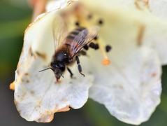 "honey bee on Rhododendron eclecteum ""Rowallane Yellow"" 3/3 (conall..) Tags: drop drink drinking water rainwater nikon afs nikkor f18g lens 50mm prime primelens nikonafsnikkorf18g closeup raynox dcr250 macro rowallane national trust saintfield walled garden northernireland bee honeybee apis mellifera apismellifera pollination flower rhododendroneclecteum rowallaneyellow rhododendron eclecteum yellow puddle"