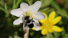 Ashy mining bee ~ Andrena cineraria {explored} (Cosper Wosper) Tags: loxley woods somerset explored ashyminingbee andrenacineraria