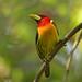 Eubucco bourcierii -Red-headed barbet torito cabecirojo (R ramirez) Tags: