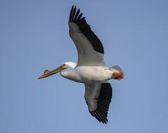 American White Pelican (Pelecanus erythrorhynchos) (mesquakie8) Tags: bird pelican swimmingandresting flying adult americanwhitepelican pelecanuserythrorhynchos awpe rockcutstatepark winnebagocounty illinois 3796