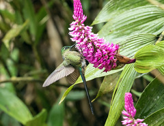 015A3911 Violet-tailed Sylph (suebmtl) Tags: bird birding ecuador pichinchaprovince hummingbird violettailedsylph aglaiocercuscoelestis orchid