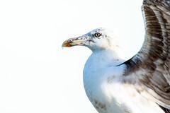 Kelp Gull (oz-birds) Tags: kelpgull wynnum